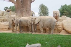 elephants socialising in bioparc