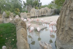 flamingos in water bioparc
