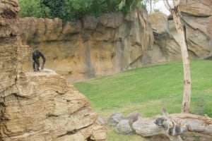 gorilla rock bioparc