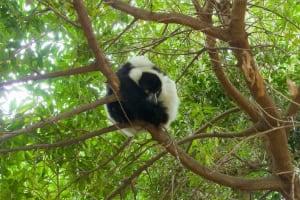 lemur tree bioparc